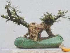 黄杨老桩盆景枝干怎样发芽修剪的方法