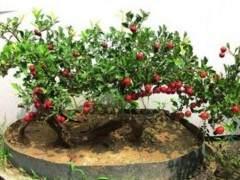 山楂盆景生根后怎么施肥与修剪
