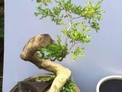 大叶黄杨盆景扦插后怎么施肥与修剪