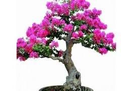 紫薇盆景的施肥与浇水