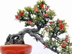 海棠盆景怎么生根发芽 浇水与施肥
