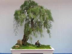 柽柳盆景怎么发芽 浇水与施肥