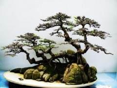榆树盆景的浇水与修剪