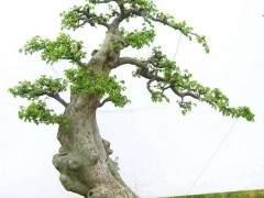 雪松榆树盆景的修剪与翻盆