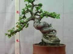 中国榆树盆景怎么施肥修剪的7个方法
