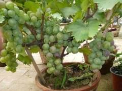 葡萄盆景的浇水与修剪