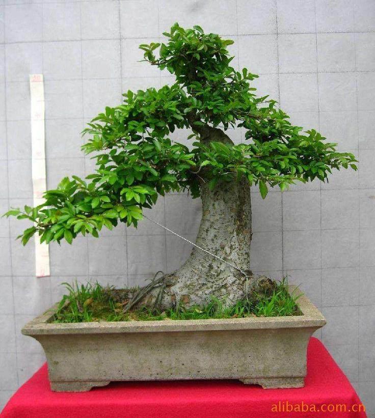 日本灰吠榆盆景的施肥与修剪
