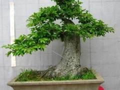 日本灰吠榆盆景怎么施肥修剪的5个方法