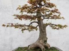 日本枫树制作的盆景 非常适合园林绿化