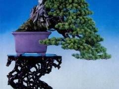 日本第84届国风盆景展在东京美术馆成功举办