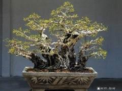 2008年柯成昆成为厦门市盆景花卉协会新一任会长