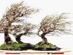 刘传刚盆景怎么制作解读的3个方法 图片