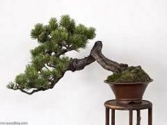 欣赏树木盆景的艺术美 可分为三个方面