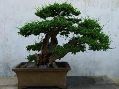 有人说 盆景中的树木不是枯木就是畸形