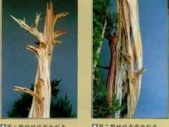 图解 普通直干柏树盆景怎么制作的13个步骤