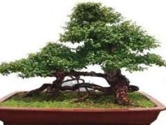 怎样把树桩盆景制作成老桩的方法