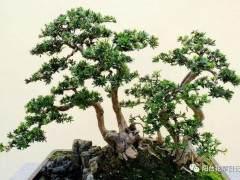 罗汉松盆景扦插发芽时间与插条选择