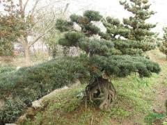 盆景病虫害红松锯蝇的防治方法