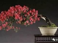 梅花盆景怎么怎么养 图片