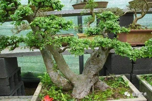 榆树盆景怎么修剪?