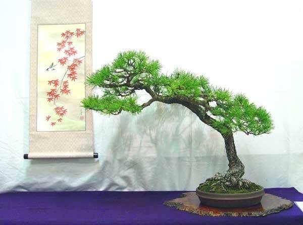 日本五针松经常被视为盆景培养的最佳松树之一