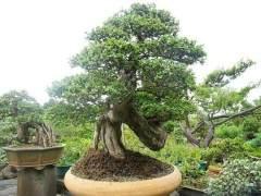 艺园阁的主人就是福建省盆景艺术大师周建成