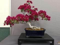 美国国家植物园举办波托马克盆景协会春季秀