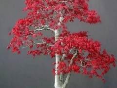 上周我写了一篇关于修剪日本枫树盆景的例子