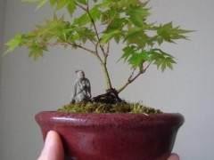 我写了一篇关于修剪日本枫树盆景的文章