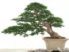 榆树老桩盆景树桩怎样采挖方法