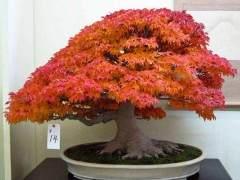 日本枫树盆景可以直接晒太阳几个小时吗?