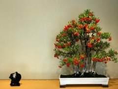 火棘可以制作小型盆景树 图片