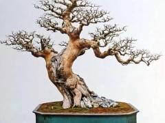 如何制作岭南盆景的鹿角枝和蟹爪枝?