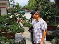 川派盆景文化是活着的文化