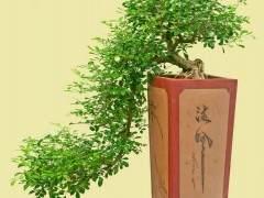 九里香是制作盆景的优良素材
