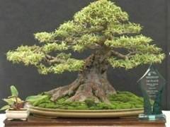 准备购买盆景树?事先要找什么 。 。 。