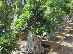 陈村花卉世界有盆景企业60多家 吸引大量爱好者前来选购