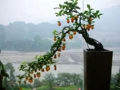 金弹子盆景在秋季的发芽管理养护措施