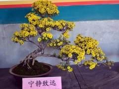 菊花盆景俱乐部的项目