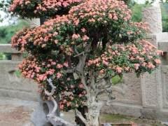 菊花盆景板坯怎样生根种植的方法