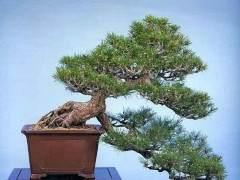 约翰卡拉威在黑松树盆景树上工作