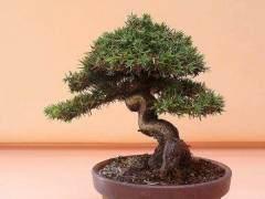山鸟盆景描述了开始创造盆景树的众多方法之一