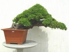 在盆子中种植盆景会减缓增稠过程