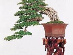有时 制作盆景树花可能是一个挑战