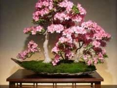 在所有花卉盆景中 杜鹃花盆景也许是最着名的