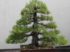 用于制作盆景树的不同类型