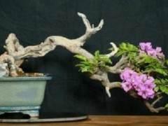 九重葛盆景 - 快速生长 丰富的花朵 喜欢热量