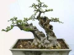 榔榆老桩盆景怎样制作以及养护