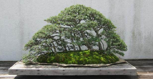 中国榆树和日本榆树(榉树)有什么区别?