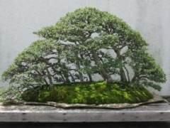 中国榆树和日本榉树盆景有什么区别?